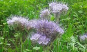 Bijenbrood akkerland Quadenoord natuurbeleving