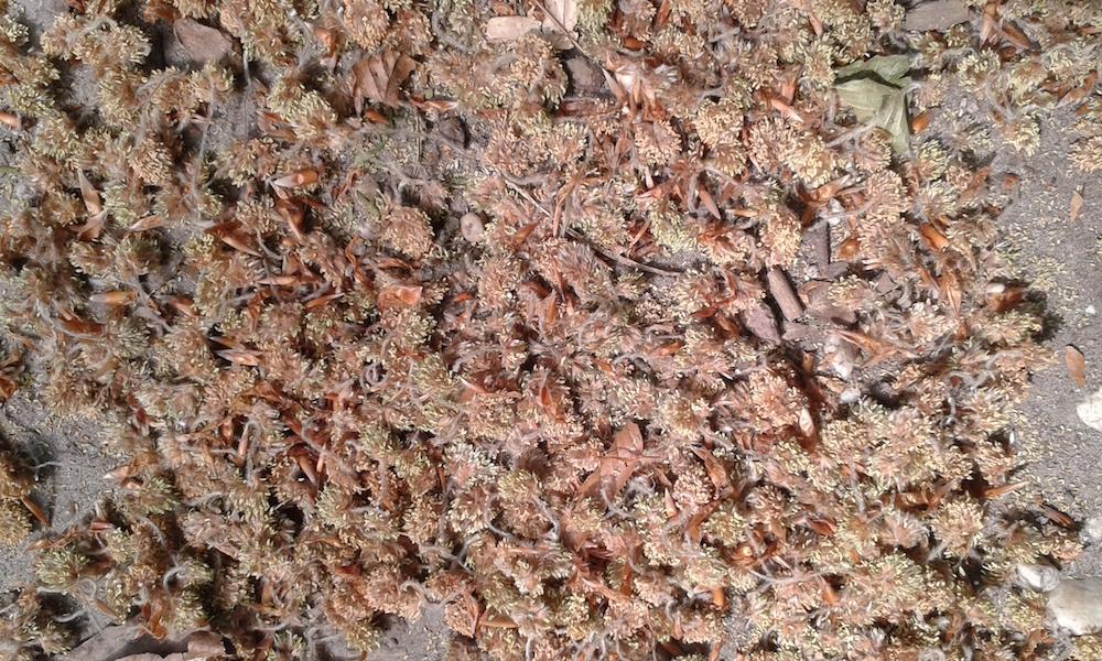 Kraaiendal tapijt van beukenkatjes