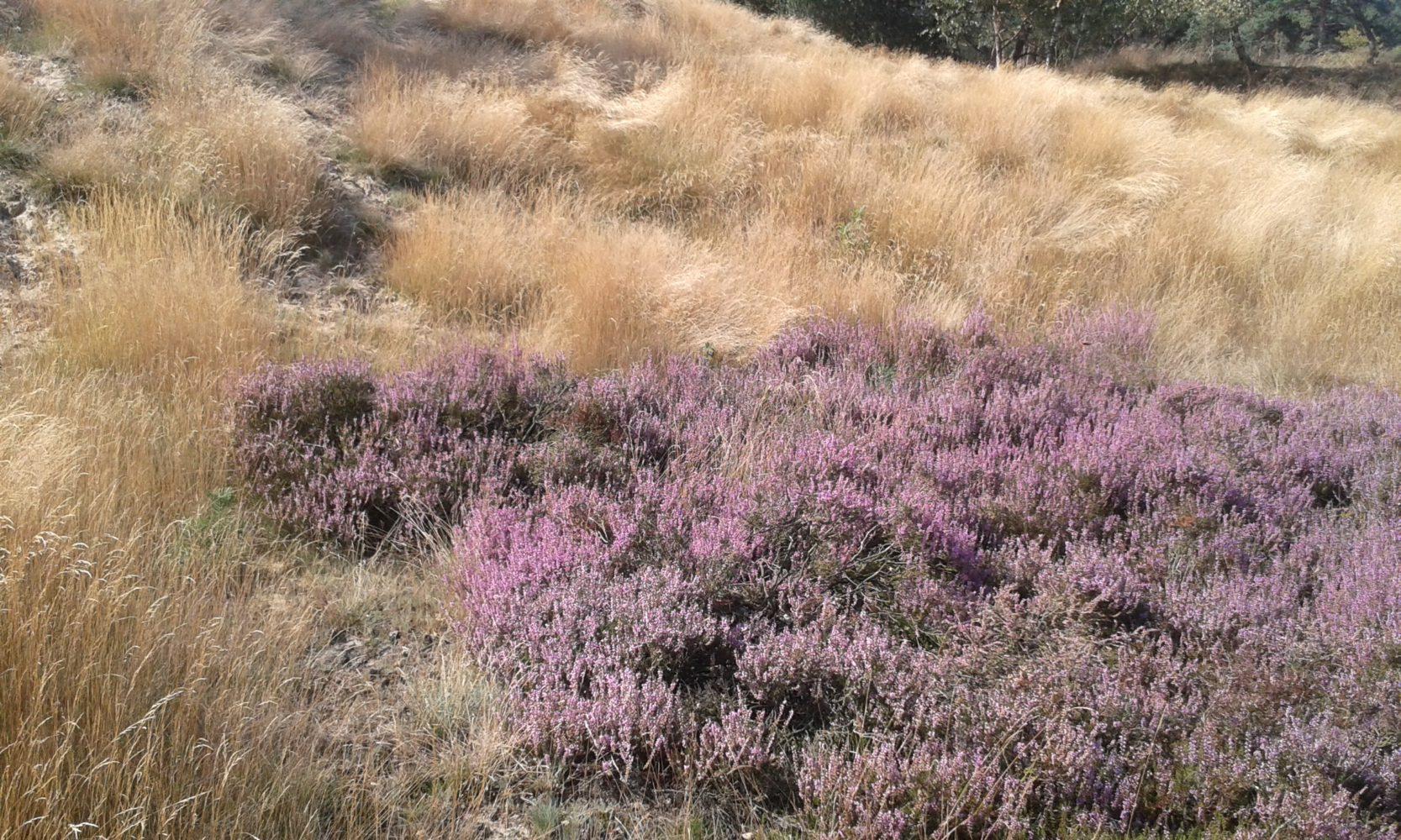 bloeiende heide cursus bewuste natuurbeleving